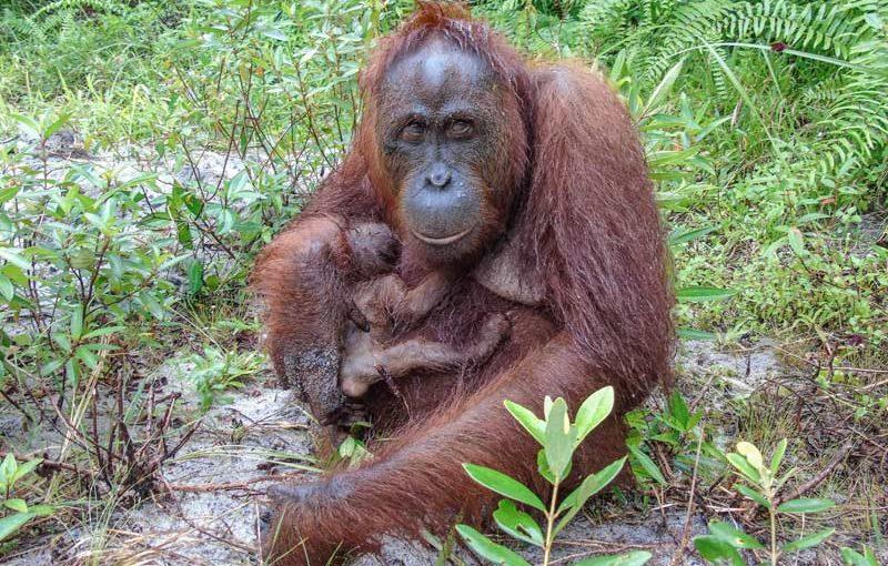Orang-Utan-Nachwuchs: Wilhelma-Hilfe auf Borneo fruchtet